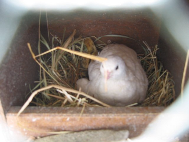 Перепелка на яйцах